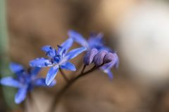 高山海葱或两叶海葱, Scilla bifolia 免版税库存图片