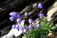 高山瑞士风铃草开花的山 库存照片