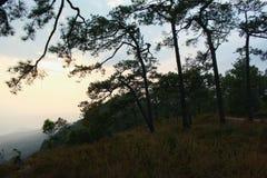 高山的,泰国一个杉树森林 免版税库存图片