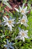 高山的Edelweiss,火绒草属(火绒草属) 库存照片