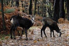高山羚羊哺乳动物 免版税图库摄影