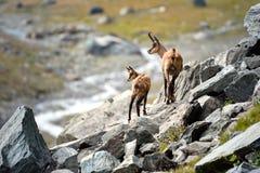 高山羚羊母亲和小狗 Gran Paradiso国家公园,意大利 库存图片