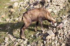 高山羚羊, Rupicapra rupicapra,居住欧洲阿尔卑斯 免版税库存图片