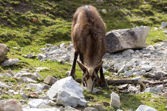 高山羚羊, Rupicapra rupicapra,居住欧洲阿尔卑斯 库存图片
