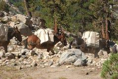 高山脉骡子培训在原野 免版税库存图片