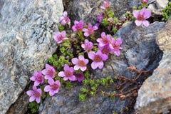 高山花虎耳草属植物Oppositifolia紫色Saxifrage,瓦莱达奥斯塔,意大利 免版税库存照片