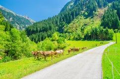 高山风景路、绿色牧场地和母牛 免版税库存图片