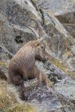 高山高地山羊在冬天,山羊属高地山羊, Gran Paradiso国家公园,意大利 图库摄影