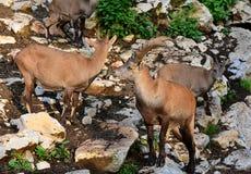 高山高地山羊在动物园里 免版税图库摄影