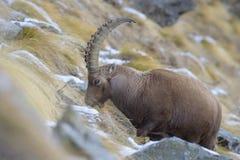 高山高地山羊在意大利 免版税库存图片