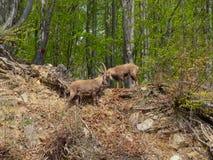 高山高地山羊或steinbock在春季战斗与垫铁 意大利, Orobie阿尔卑斯 图库摄影