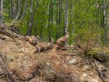 高山高地山羊或steinbock在木头附近伪装自己在领域的春季 意大利, Orobie阿尔卑斯 图库摄影