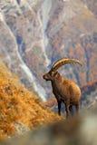 高山高地山羊,山羊属高地山羊高地山羊,与秋天橙色落叶松属树在背景中,有角的动物在岩石山自然栖所, Nati 库存图片