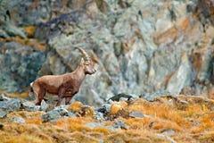 高山高地山羊,山羊属高地山羊,与秋天橙色落叶松属树在小山背景中,国家公园Gran Paradiso,意大利 秋天风景wi 免版税库存图片