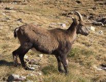 高山高地山羊(山羊属高地山羊)在秋天 免版税库存照片