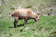 高山高地山羊 库存照片