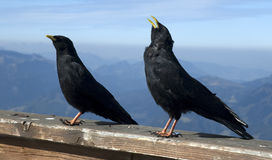 高山chough graculus pyrrhocorax 免版税库存照片