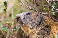 高山groundhog早獭monax详细的室外画象  免版税库存图片