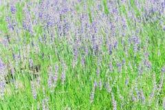 高峰绽放周围的风景的淡紫色农场在Sequim,是 免版税图库摄影