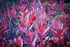 高峰美洲越桔叶子特写镜头在山姆的点蜜饯的 库存照片