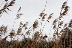 高干草在风天摇摆 库存图片
