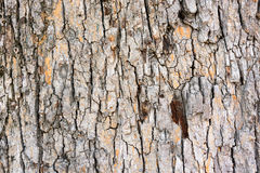 高度详细的树皮纹理 库存图片