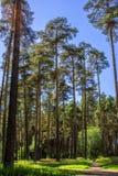 高杉木在俄罗斯的夏天森林里 免版税库存照片
