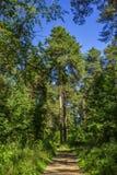 高杉木在俄罗斯的夏天森林里 库存照片