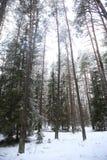 高杉木在森林阴云密布的冬天 库存图片
