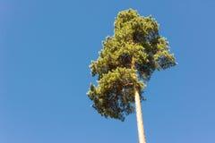 高杉木树干、豪华的冠和软的蓝天 免版税库存照片