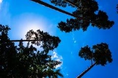 高杉木树干、豪华的冠和软的蓝天 免版税图库摄影