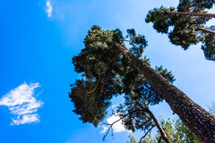 高杉木树干、豪华的冠和软的蓝天 免版税库存图片