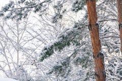 高杉木积雪的分支与轻的树干的 库存图片