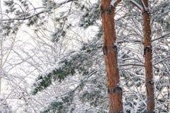 高杉木积雪的分支与轻的树干的 库存照片
