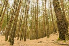 高杉树在森林里,舒展入天空 库存图片