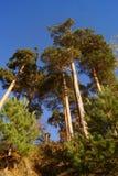 高杉树 库存照片