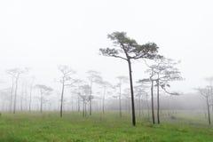 高杉树 库存图片