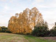高树金黄黄色秋天俏丽的自然白色秋天行  免版税库存图片