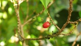 高根属古柯、古柯灌木在一张花盆自一间热带温室,科学研究,植物成熟红色果子,叶子和 股票录像