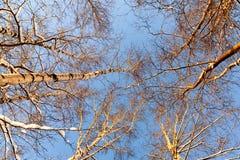 高桦树上面在反对一天空蔚蓝的冬天在日落光 底视图 库存图片