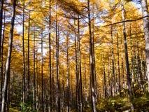 高桦树和白杨木树在秋天晒干 免版税库存照片