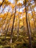 高桦树和白杨木树在秋天晒干 免版税库存图片
