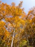 高桦树和白杨木树在秋天晒干 库存照片