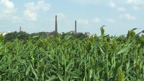 高梁双色在谷物庄稼的领域,农业植物绿色,增长作为谷物面粉生产和为饲料 股票录像