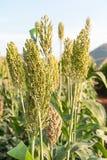 高梁或小米的领域 库存图片