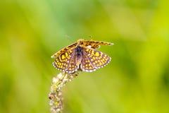 高棕色蝴蝶的贝母 免版税库存图片