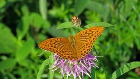 高棕色蝴蝶的贝母 库存照片