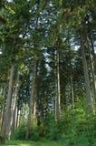 高森林的杉木 图库摄影