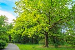 高橡树在夏天公园 免版税库存照片