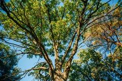 高橡树机盖  晴朗的落叶林 免版税库存照片